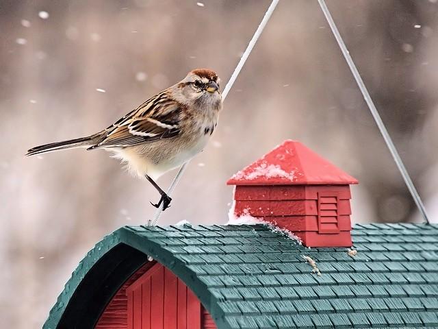 American Tree Sparrow 2-20130227