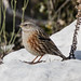 Small photo of Alphine Accentor (Prunella collaris)