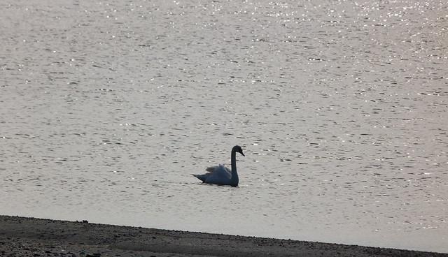 swan3_march4