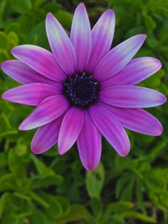 Weekly Photo 10/52 for 2013: Purple Daisy 2 by Kristen Koster on Flickr