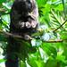 Primates Pithecia monachus_03_
