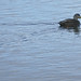 Small photo of American Black Duck