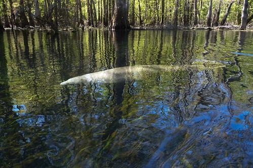 water florida places manatee ichetuckneeriver fortwhite ichetuckneespringsstatepark