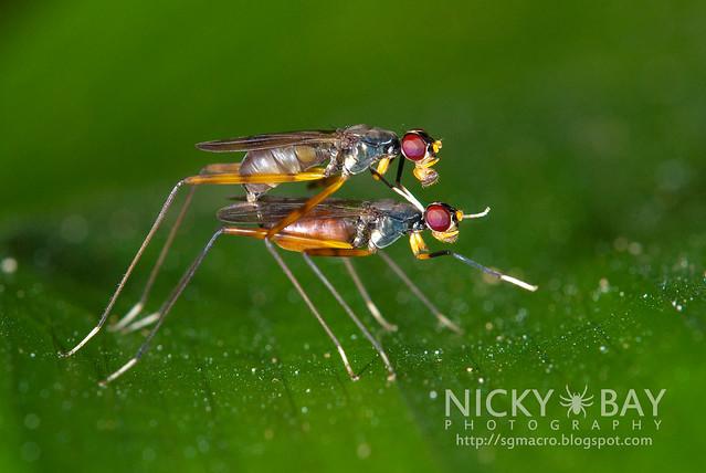 Stilt-Legged Flies (Micropezidae) - DSC_5496