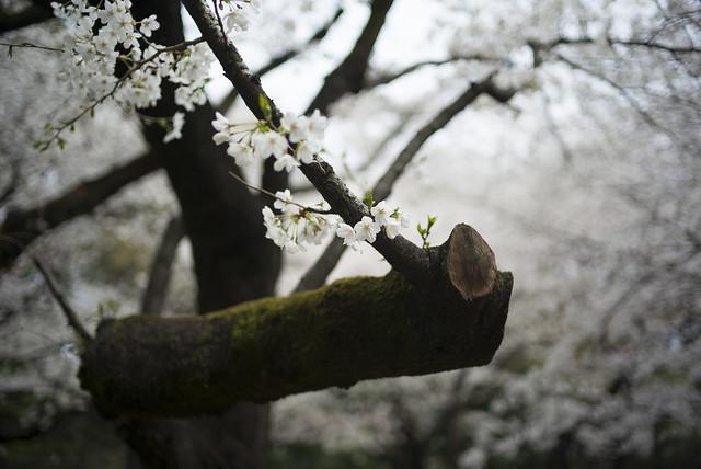 哲学堂公園の桜6