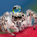 Little jumping spider! by AlkhashabNawaf