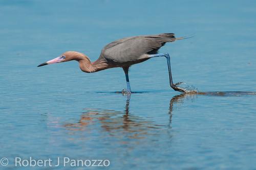 bird sanibel sanibelisland egret autofocus reddishegret jndingdarlingnwr goldwildlife allnaturesparadise