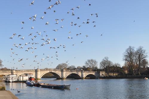 Birds over Richmond Bridge
