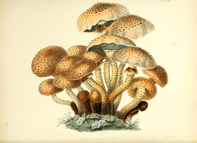 Illustrations of British mycology, containing figures and descriptions of the funguses of interest and novelty indigenous to Britain ser.1