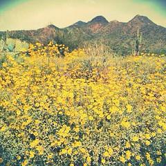 Wild flowers in the desert.   #bloom #blooms #beautiful #botanical #arizona #nature #mountains #naturelovers #cactus #flower #fabflora #flowermagic #fleuroftheday #green #yellow #desert #gramoftheday #igers #igersaz #instaaz #igersphx #ic_nature #igersonl
