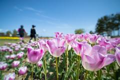 Tulip #01 in 2013