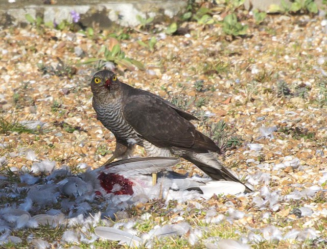 DSC_6146 Female Sparrowhawk with its prey