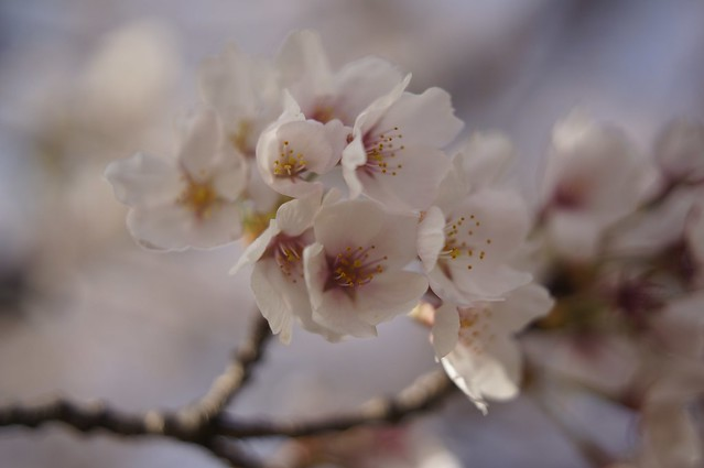 春始めました14 花祭り