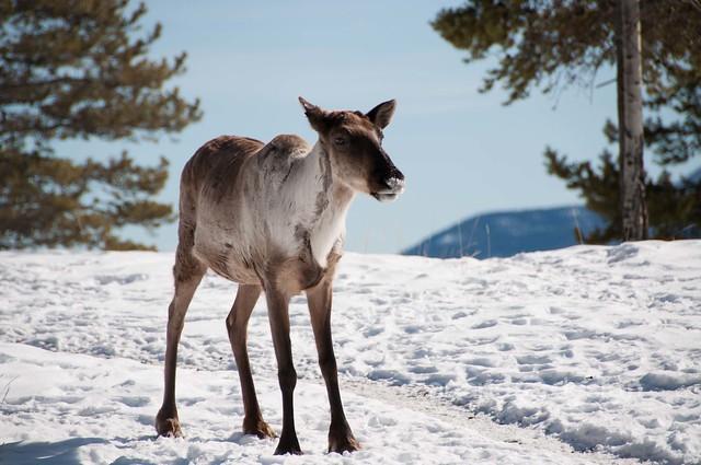 Young Caribou calf