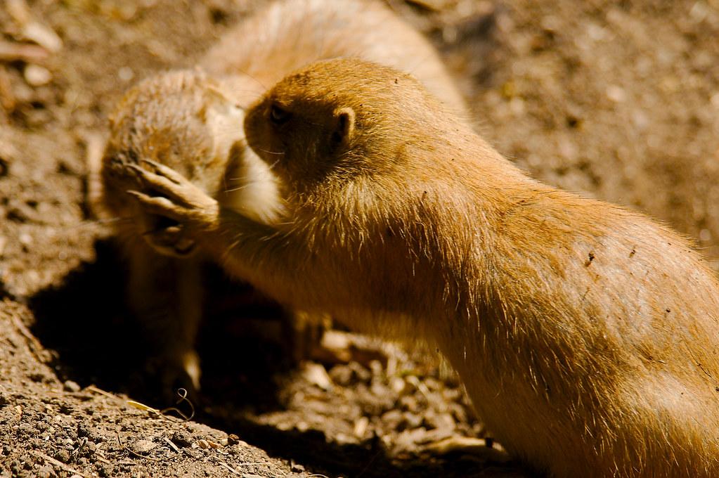 Black-tailed Prairie Dog (Cynomys ludovicianus)_33