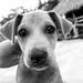 Lucky puppy, Goyambokka