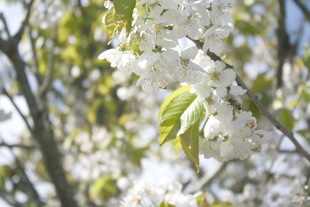 whitecherry