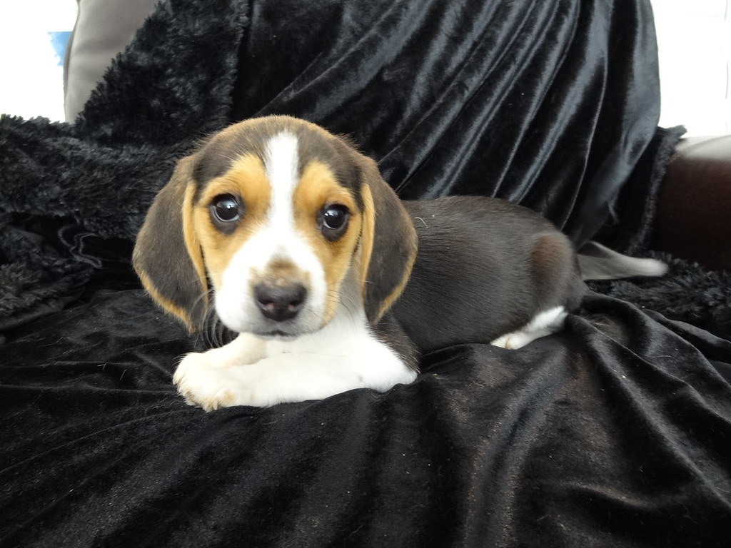 Free Beagle Puppies In Florida Puppies In Florida