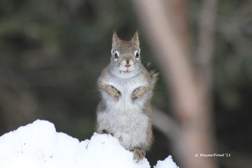 squirrels rodentia sciuridae tamiasciurushudsonicus americanredsquirrel herseylakeconservationarea timminsontariocanada