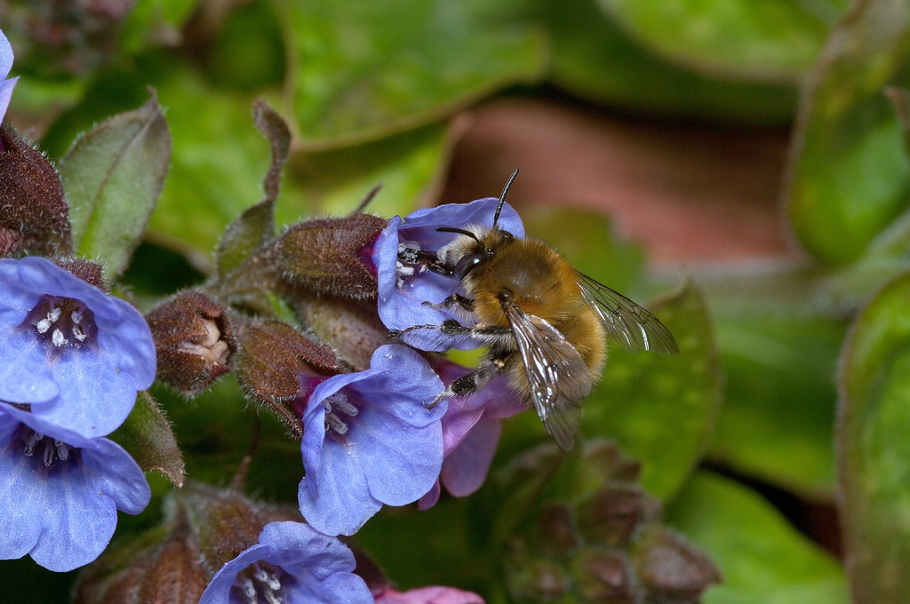Hairy-footed Flower Bee (m)