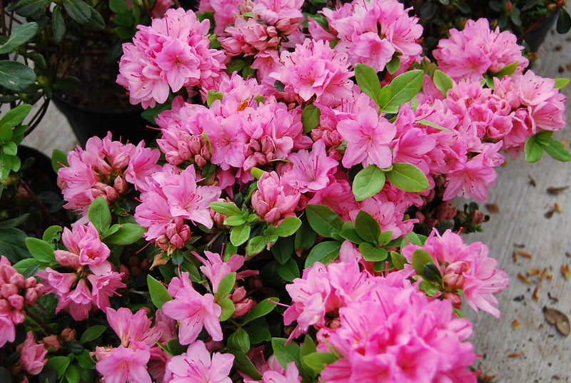 AZALEA TRADITION