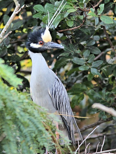 Yellow-crowned Night-Heron at nest 10 non-HT 2-20130416