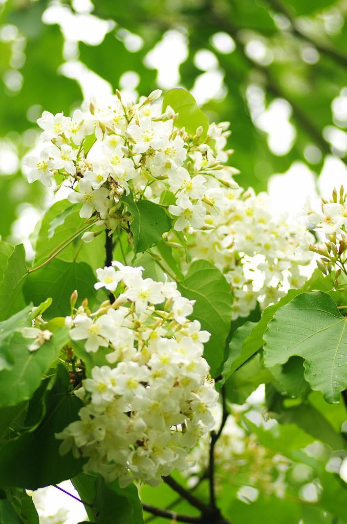 雲林-荷苞山賞油桐花