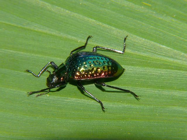 Dimpled metallic green beetle Prophanes sp Tenebrionidae cyphaleinae Airlie Beach P1130212