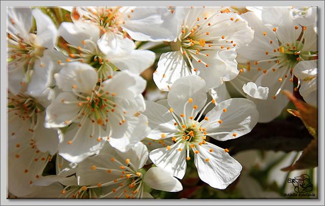 8 Caderechas en flor