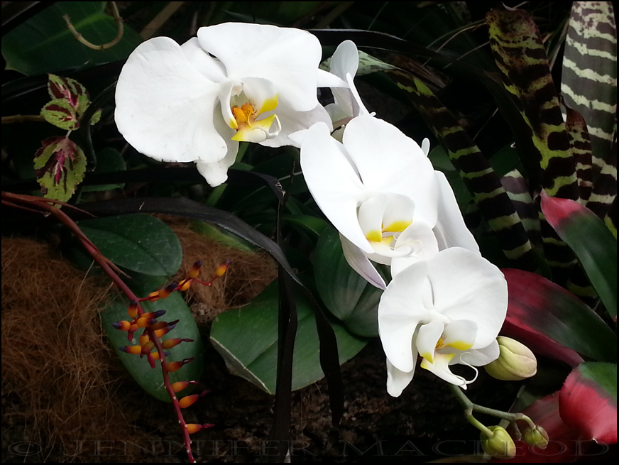 20130408_white orchid trio
