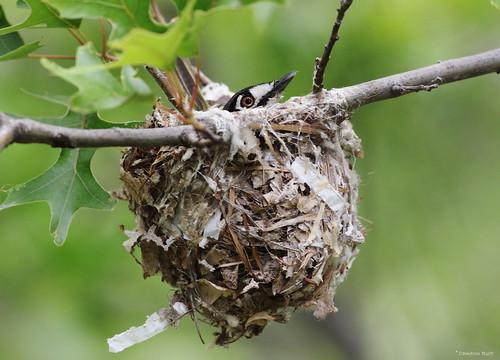 texas nest songbird endangeredspecies vireo incubation forthood blackcappedvireo vireoatricapilla