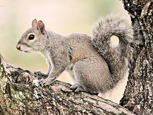Gray Squirrel 2-20130418