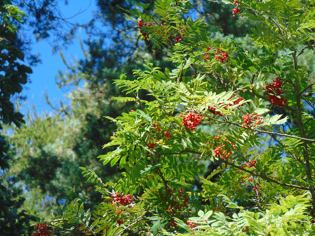 Rowan berries  - Sorbus aucuparia