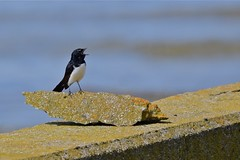 Willie  Wagtail  ( singing )
