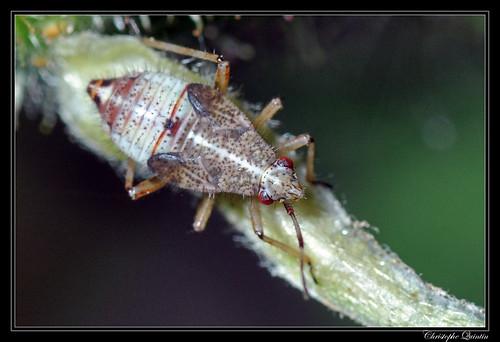 Deraeocoris sp. nymph (Deraeocoris flavilinea ?)