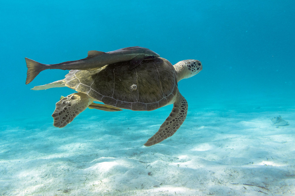 Turtle, now with more Remora