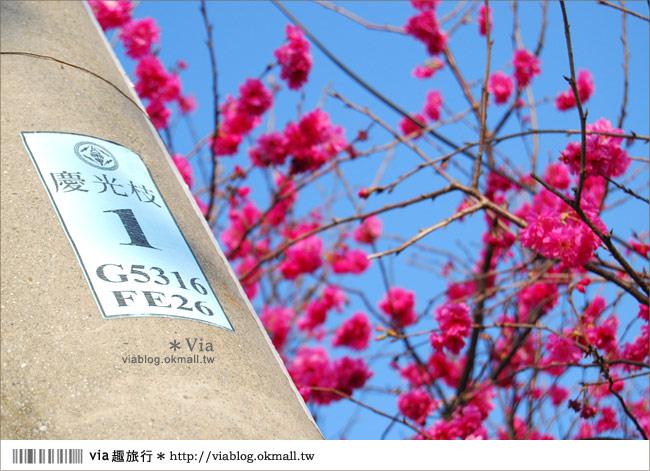 【芬園櫻花】芬園櫻花隧道~芬園花卉生產休憩園區賞櫻趣!