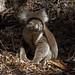 Koala de Kangaroo Island