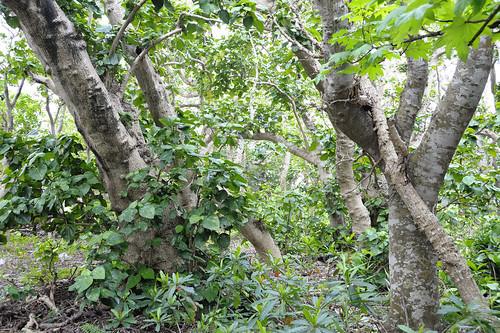 Hernandia nymphaeifolia,Miyasato,Nago,OKINAWA
