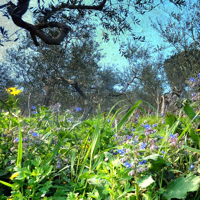springtime arrived today in the olive groves