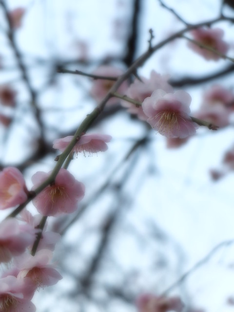 plum-bloom festival 10