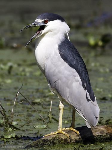 bird canon photography texas brazosbendstatepark ardeidae blackcrownednightheron nycticoraxnycticorax 60d canon400f56lusm