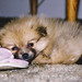 Chewing on slippers at Rainbow Bridge 3/2/13