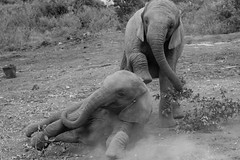 Young elephants playing in Nairobi National Park