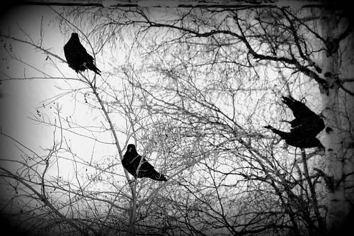 trees snow nature weather nikon berries raven winterscape rebeak