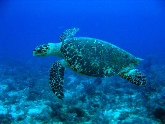 玳瑁。照片來源:維基百科,http://zh.wikipedia.org/wiki/File:Hawksbill_Turtle.jpg