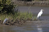 The Tricolored Heron and the Great Egret