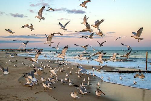 beach water virginia waves seagull gull aves hampton laridae charadriiformes chordata buckroe genera