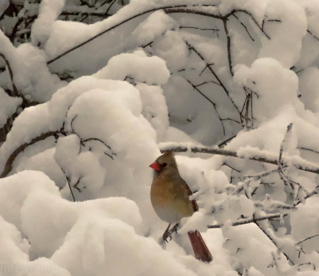Northern Cardinal - Winona, MN