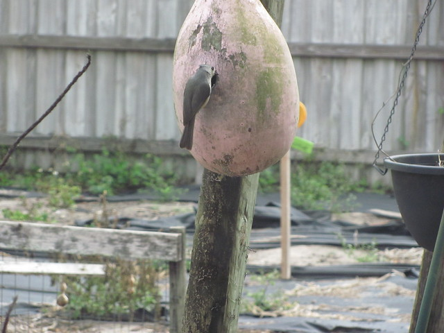 Tufted Titmouse checks out gourd